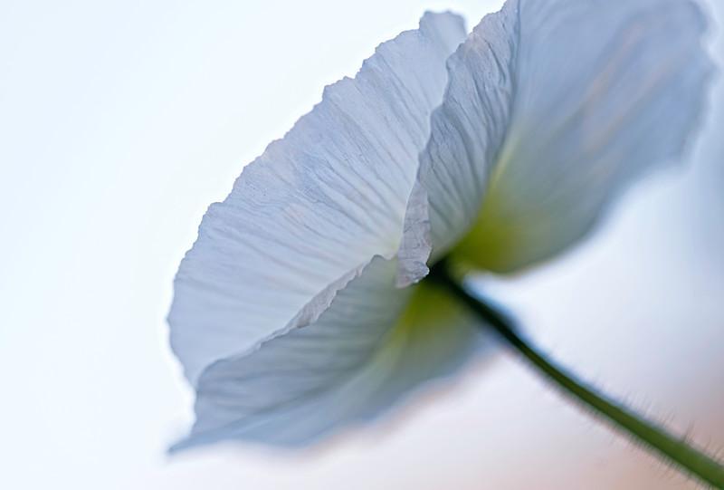 softly poppies