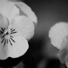 yellow pansies, in black & white