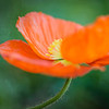 petals like crinkled tissue paper, orange poppy