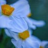 daffodils, cascading flowers