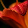 the petal's edge