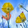 poppies reaching towards the sky