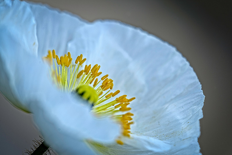 white poppy peeking over the petals
