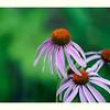 Echinacea, three amigos