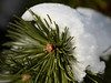 Freshly fallen snow on a fir tree, this shot was taken with the Canon 135L lens, known for its clarity & sharpness.