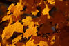 Maple leaves in the perfect shade of fall.
