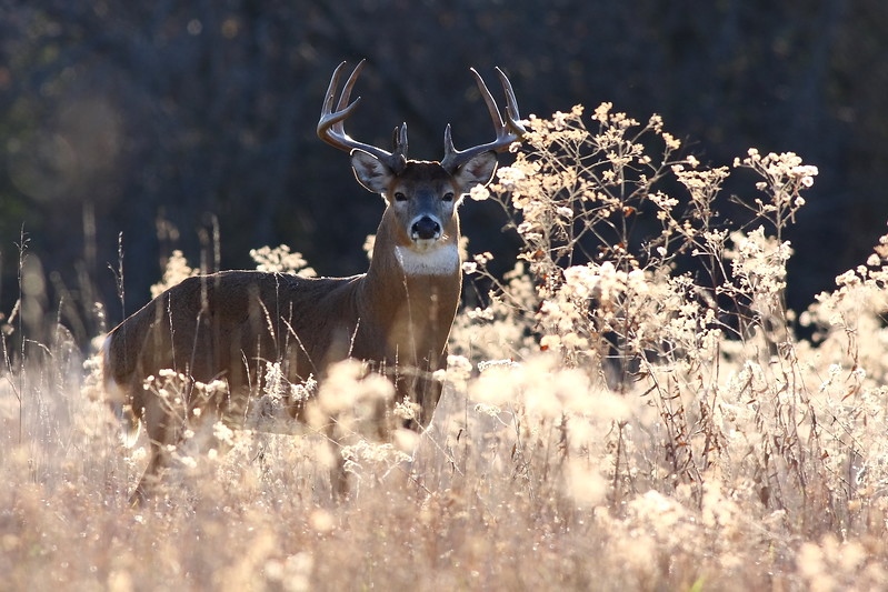 A 14-point buck, found in the Cook County Forest Preserves.