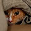 Gizmo, hiding under his favorite blanket.