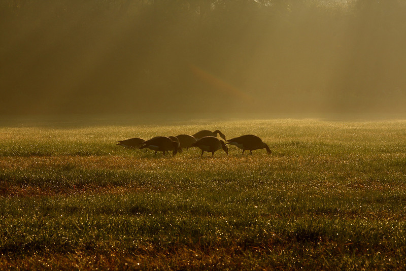 Geese in the early morning sun...