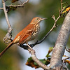 Brown Thrasher, taken at Montrose in Chicago