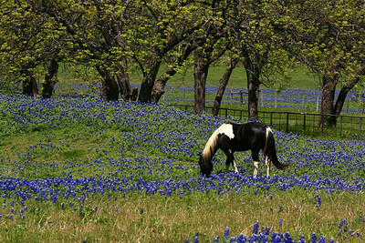 Pony in bluebonnet field, Ennis, Texas.