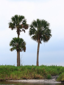 Palm trees  near Everglades in Florida