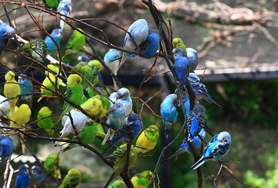 Parakeets at Ft. Worth Zoo