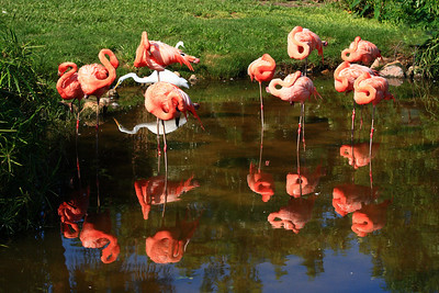 Flamingos at Gatorland Park, Florida