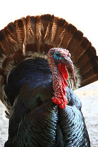 Turkey at Gatorland, Fl.