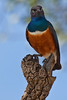 A Superb Starling, Kenya