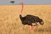 A male Ostrich running across the Masai Mara