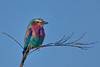 A Lilac Breasted Roller on the Masai Mara