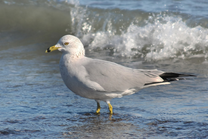 Sea Gull, Huntington State Park, SC