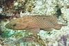 Coney Grouper - Florida Keys