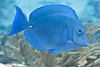 Blue Tang - Florida Keys