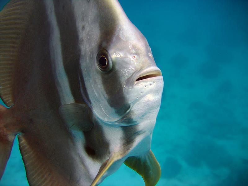 Bat Fish - Seychelle Islands