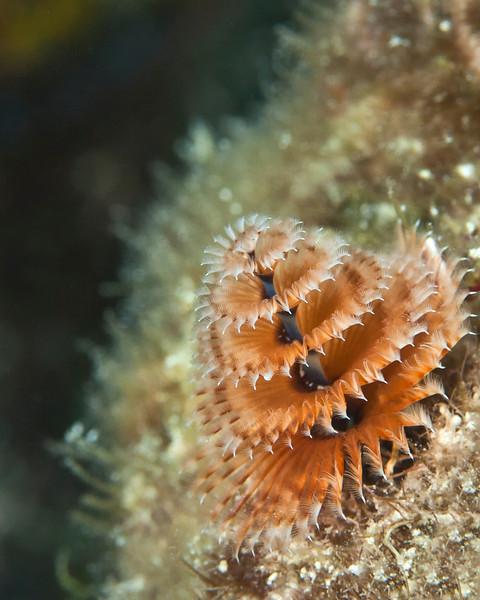 Christmas Tree Worm - Florida Keys