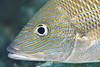 Blue Striped Grunt - Florida Keys
