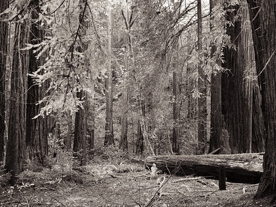 Sequoia Trees - Muir Woods, CA