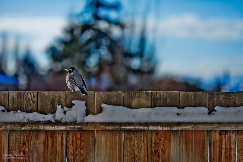 Snow Sparrow