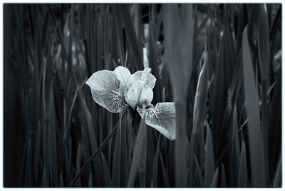 The lonely Iris