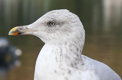 Ullapool gull