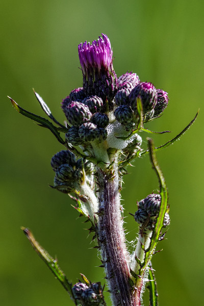 Creeping Thistle - Agertidsel