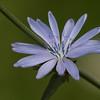 Common Chicory - Cikorie