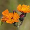 Orange Hawkweed - Pomeranshøgeurt