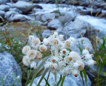 Anaphalis margaritacea - Pearly Everlasting by Basin Creek