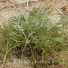 Artemisia campestris ssp caudata, Beach Wormwood; Monmouth County, New Jersey 2014-10-24   10