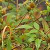 Bidens frondosa, Devil's Beggar-ticks; Burlington County, New Jersey 2014-10-15   2