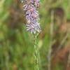 Symphyotrichum concolor, Eastern Silver Aster; Okaloosa County, Florida 2015-11-12   9