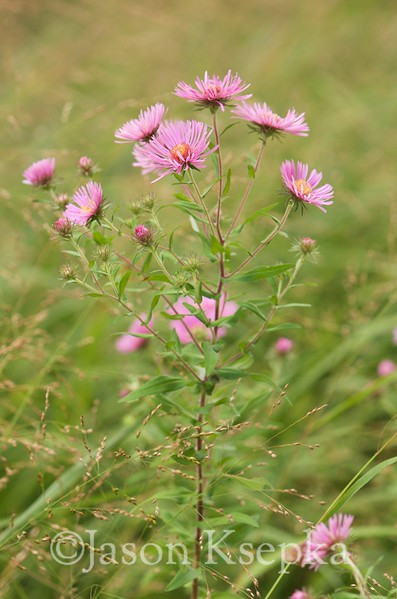Symphyotrichum novae-angliae, New England Aster; Ocean County, New Jersey 2014-09-11   4