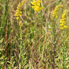 Solidago puberula, Downy Goldenrod; Burlington County, New Jersey  2013-09-11  #8