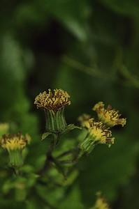 Arnica acaulis - Common leopardbane