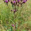 Vernonia noveboracensis, New York Ironweed; Monmouth County, New Jersey 2014-08-22   2