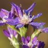 Symphyotrichum concolor, Eastern Silver Aster; Okaloosa County, Florida 2015-11-12   4