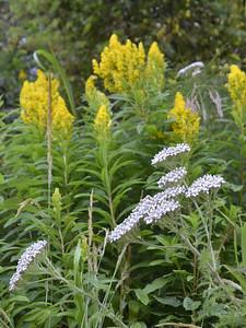 Achillea millefolium - Yarrow and Solidago - Goldenrod