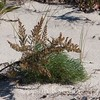 Artemisia campestris ssp caudata, Beach Wormwood; Monmouth County, New Jersey 2014-10-24   4