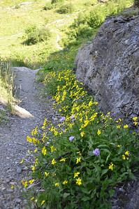 Arnica longifolia - Long-Leaved Arnica