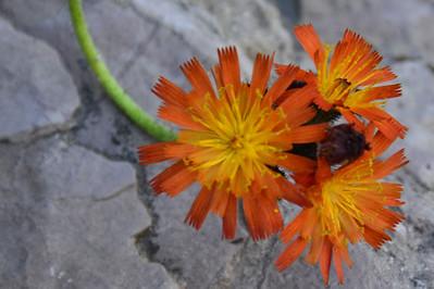 Agoseris aurantiaca - Orange False Dandelion