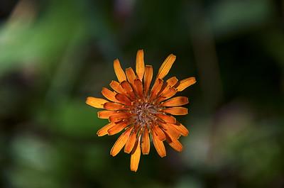 Agoseris Aurantiaca - Orange Agoseris