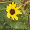 Helianthus petiolaris, Plains Sunflower; Monmouth County, New Jersey 2014-10-24   5